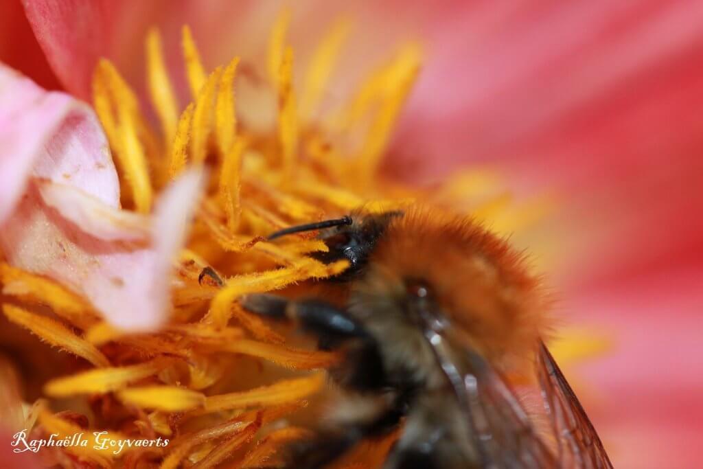 Hommel verzamelt nectar